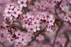 Cherry tree in full blossom in spring time. Close up of wild cherry flowers blossom.Cherry tree blooming in spring time with many pink,rose and purple tiny Royalty Free Stock Photography