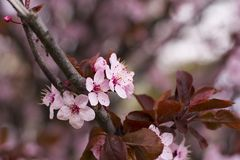 Cherry tree in full blossom in spring time Royalty Free Stock Image