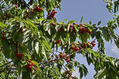 Cherry tree full of sweet appetising red fruits in the garden, district Drujba. Sofia, Bulgaria royalty free stock image