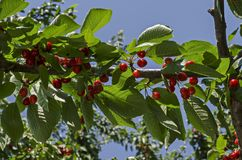 Cherry tree full of sweet appetising red fruits in the garden, district Drujba. Sofia, Bulgaria stock photography