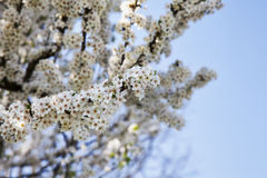 Cherry tree full of white flowers Stock Images