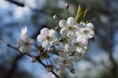 Cherry tree. In the garden stock image