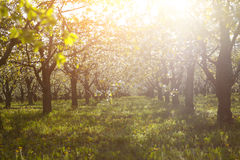 Cherry tree garden on a lawn with the sun shining Stock Photos