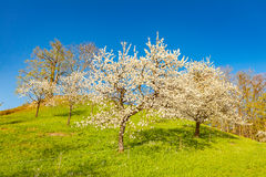 Cherry tree garden Stock Images