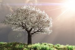 Cherry Tree with God rays Royalty Free Stock Images