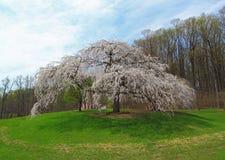Cherry Tree grande Imagenes de archivo
