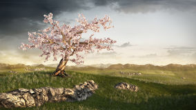 Cherry tree on grassland Royalty Free Stock Image
