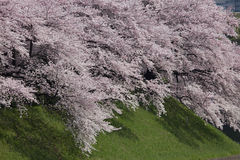 Cherry tree and green bank Royalty Free Stock Photography