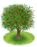 Cherry Tree in green field Stock Image