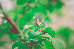 Cherry Tree with Green Leaves,Big May-Bug,Nature background;Selective Focus,Toned Stock Photos