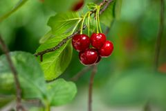 Cherry on the tree. Green leaves of cherry tree and fruits. Cherry tree green leaves fruits royalty free stock photo
