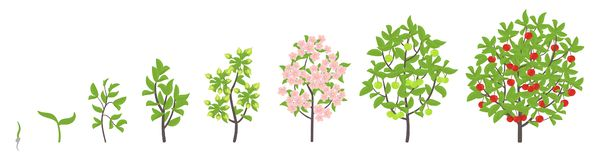 Cherry tree growth stages. Vector illustration. Ripening period progression. Cherries fruit tree life cycle animation plant. Cherry tree growth stages. Ripening vector illustration