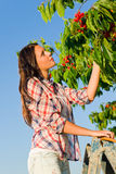 Cherry tree harvest summer beautiful woman sunny Stock Image
