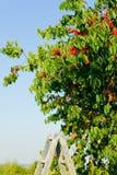 Cherry tree harvest summer portrait Stock Photos