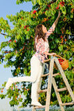 Cherry tree harvest summer woman climb ladder Royalty Free Stock Photos