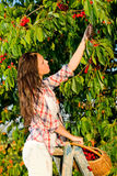 Cherry tree harvest summer woman stand ladder Royalty Free Stock Images