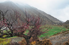 Cherry Tree high in mountains on a foggy morning Royalty Free Stock Photos