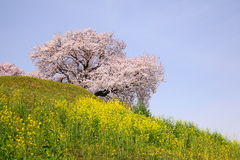Cherry tree on the hill Royalty Free Stock Photos
