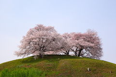 Cherry tree on the hill Stock Photo