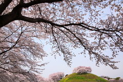 Cherry tree on the hill Stock Image