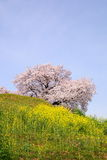 Cherry tree on the hill Stock Photography