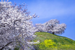 Cherry tree on the hill Stock Images