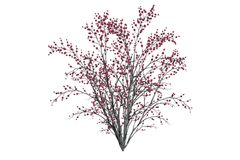 Cherry Tree isolated on white. 3d render. Beautiful cherry tree in bloom isolated on white. 3d render of a bushy tree Royalty Free Stock Photos