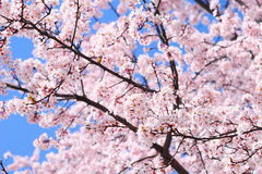 Cherry Tree in Japan Stock Photo