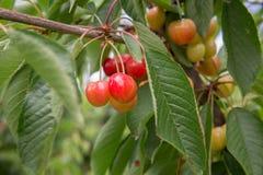 Cherry Tree-/Kirschhintergrund/Kirsche mit Blatt Stockfotografie