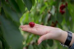 Cherry Tree-/Kirschhintergrund/Kirsche mit Blatt Stockbild