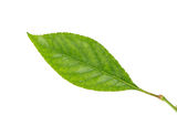Cherry tree leaf Royalty Free Stock Image