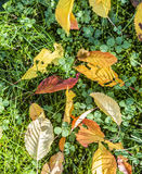 Cherry tree leaves at the grass in harmonic autumn colors Royalty Free Stock Image