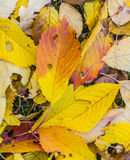Cherry tree leaves at the grass in harmonic autumn colors Stock Photo