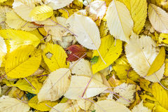 Cherry tree leaves at the grass in harmonic autumn colors Royalty Free Stock Photography