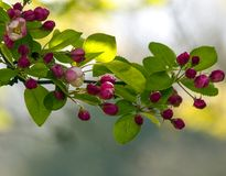 Cherry Tree Branch Royalty Free Stock Images