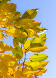 Cherry tree leaves under blue sky in harmonic autumn colors Royalty Free Stock Photography