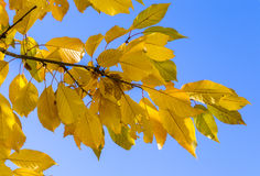 Cherry tree leaves under blue sky in harmonic autumn colors Royalty Free Stock Images