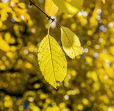 Cherry tree leaves under blue sky in harmonic autumn colors Stock Image