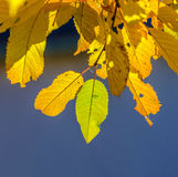 Cherry tree leaves under blue sky in harmonic autumn colors Royalty Free Stock Image