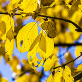 Cherry tree leaves under blue sky in harmonic autumn colors Royalty Free Stock Photo