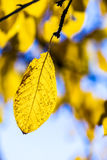Cherry tree leaves under blue sky in harmonic autumn colors Royalty Free Stock Photos