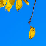 Cherry tree leaves under blue sky in harmonic autumn colors Stock Images
