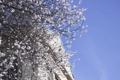 Cherry tree on the left side of the white building against a clear blue sky in the spring stock photos