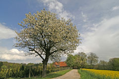 Cherry tree in Lower Saxony Stock Image