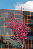 Cherry tree and modern building. Cherry tree next to modern building Royalty Free Stock Image