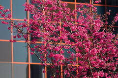 Cherry tree and modern building Stock Photo