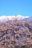 Cherry tree and mountain Royalty Free Stock Photos