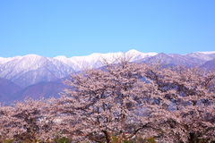 Cherry tree and mountain Stock Photography