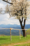 Cherry tree with mountains in the background. Cherry tree in bloom with Bucegi mountains in background Royalty Free Stock Photography