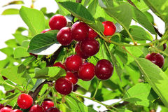 Cherry on tree Royalty Free Stock Photography